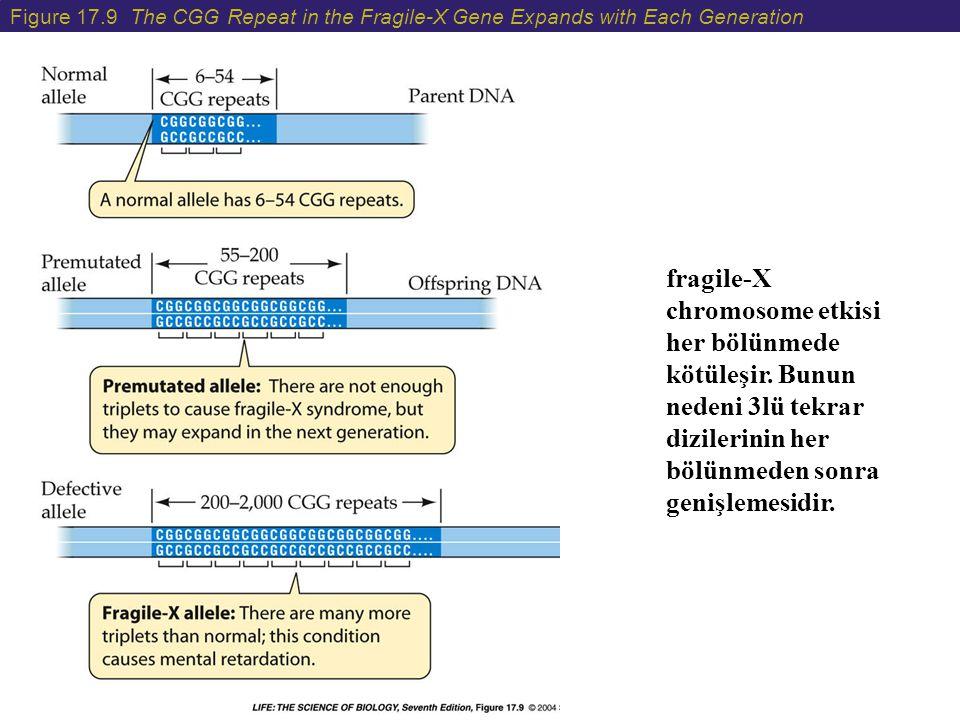 Figure 17.9 The CGG Repeat in the Fragile-X Gene Expands with Each Generation fragile-X chromosome etkisi her bölünmede kötüleşir. Bunun nedeni 3lü te