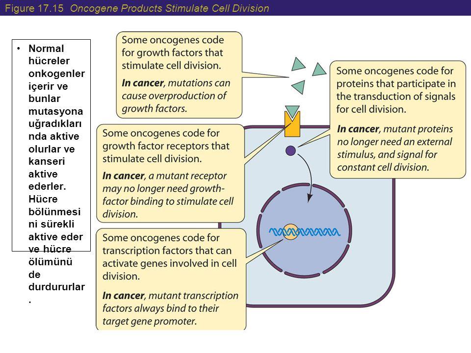 Figure 17.15 Oncogene Products Stimulate Cell Division Normal hücreler onkogenler içerir ve bunlar mutasyona uğradıkları nda aktive olurlar ve kanseri