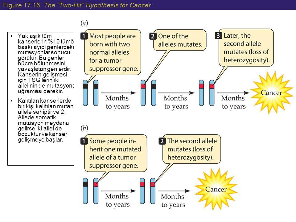 """Figure 17.16 The """"Two-Hit"""" Hypothesis for Cancer Yaklaşık tüm kanserlerin %10 tümör baskılayıcı genlerdeki mutasyonlar sonucu görülür. Bu genler hücre"""