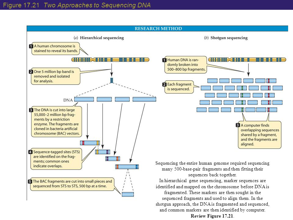 Figure 17.21 Two Approaches to Sequencing DNA Sequencing the entire human genome required sequencing many 500-base-pair fragments and then fitting the