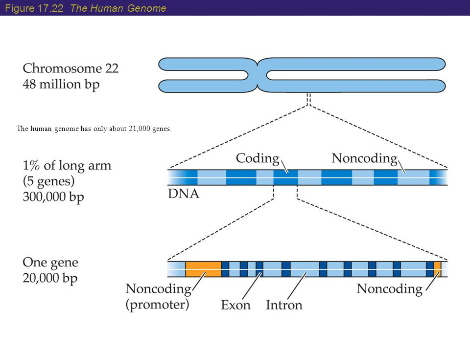 Figure 17.22 The Human Genome The human genome has only about 21,000 genes.