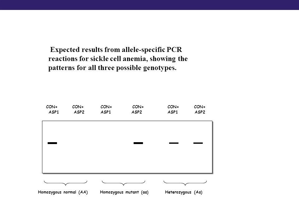 CON+ CON+ CON+ CON+ CON+ CON+ ASP1 ASP2 ASP1 ASP2 ASP1 ASP2 Homozygous normal (AA)Heterozygous (Aa)Homozygous mutant (aa) Expected results from allele