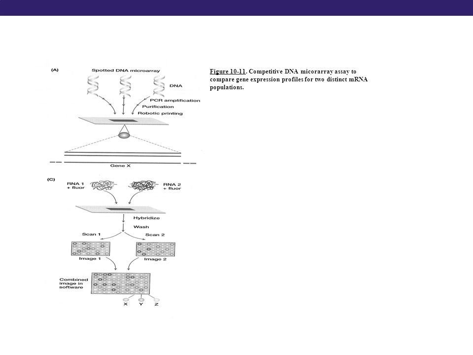 Figure 10-11. Competitive DNA micorarray assay to compare gene expression profiles for two distinct mRNA populations.