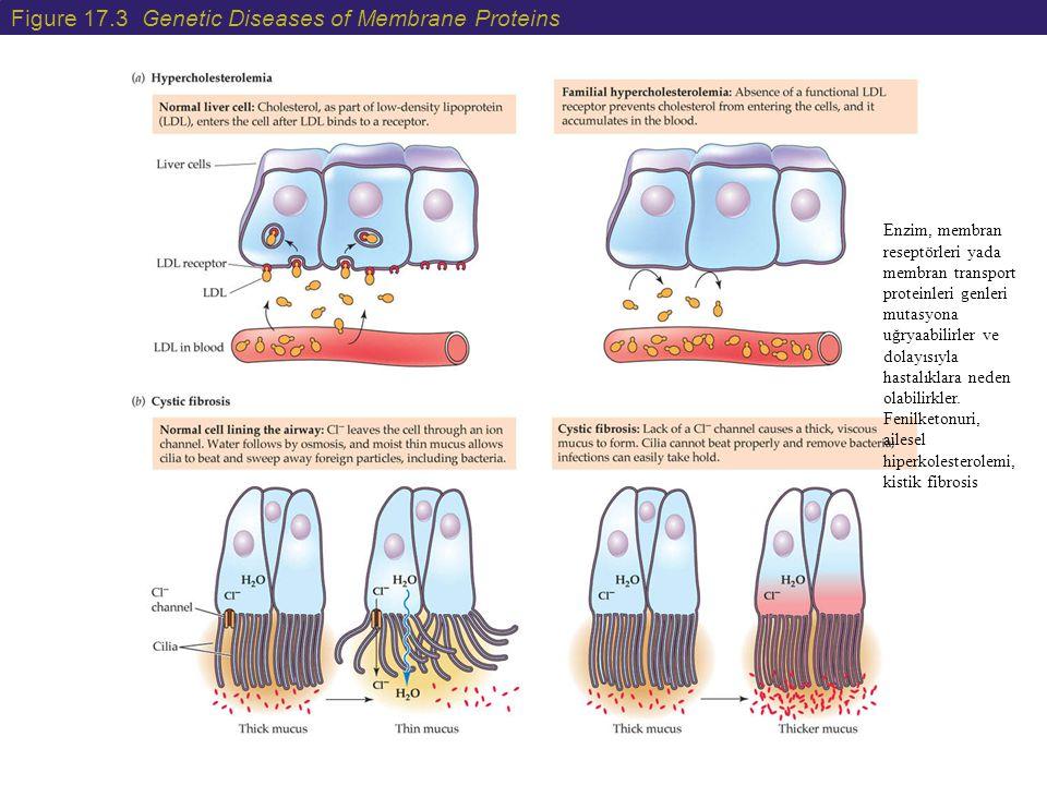 Figure 17.4 Prion Proteins Bazı hastalıklar yapısal proteinlerdeki mutasyonlar sonucu ortaya çıkar örneğin Duchenne Muscular Distrofi ve hemofili.