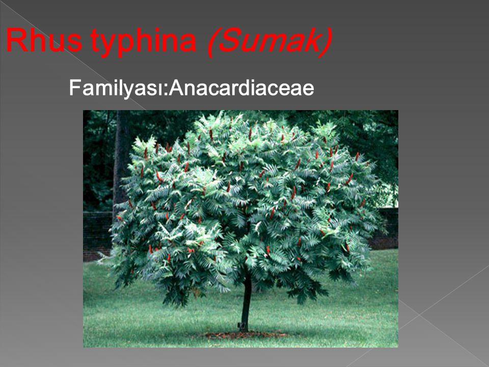 Rhus typhina (Sumak) Familyası:Anacardiaceae