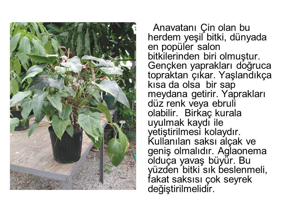 Anavatanı Çin olan bu herdem yeşil bitki, dünyada en popüler salon bitkilerinden biri olmuştur. Gençken yaprakları doğruca topraktan çıkar. Yaşlandıkç