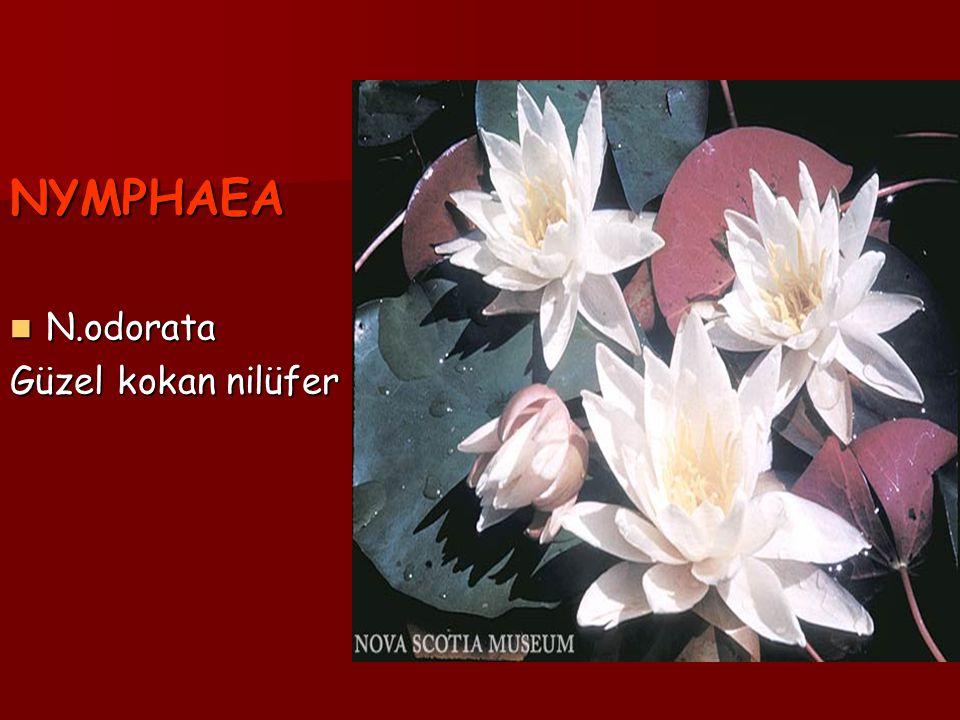 NYMPHAEA N.odorata N.odorata Güzel kokan nilüfer