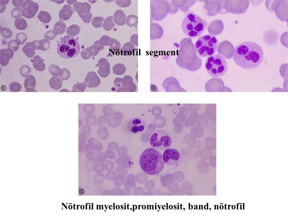 Nötrofil segment Nötrofil myelosit,promiyelosit, band, nötrofil