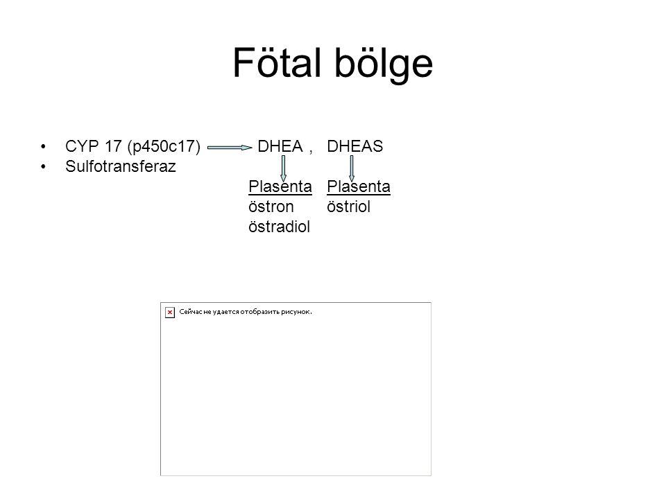 Fötal bölge CYP 17 (p450c17) DHEA, DHEAS Sulfotransferaz Plasenta Plasenta östron östriol östradiol