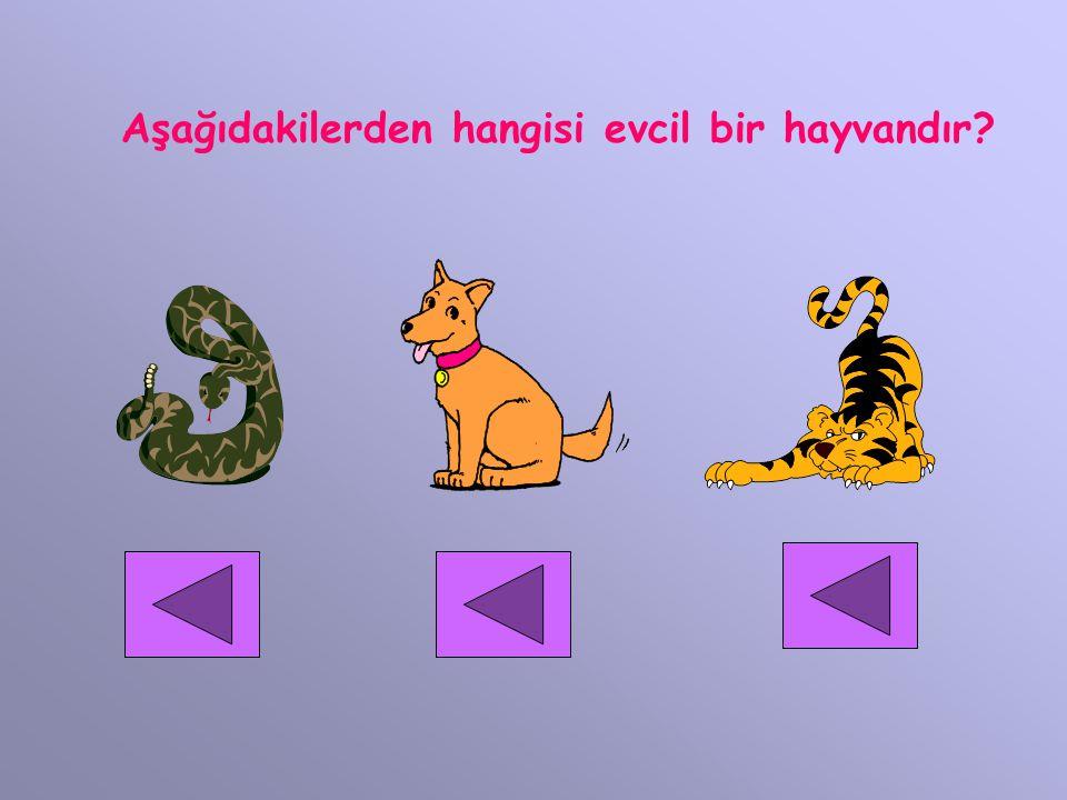 Aşağıdakilerden hangisi evcil bir hayvandır?
