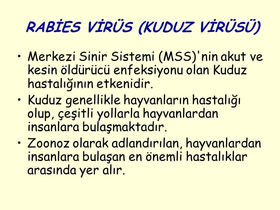RABİES VİRÜS (KUDUZ VİRÜSÜ) Merkezi Sinir Sistemi (MSS)'nin akut ve kesin öldürücü enfeksiyonu olan Kuduz hastalığının etkenidir. Kuduz genellikle hay