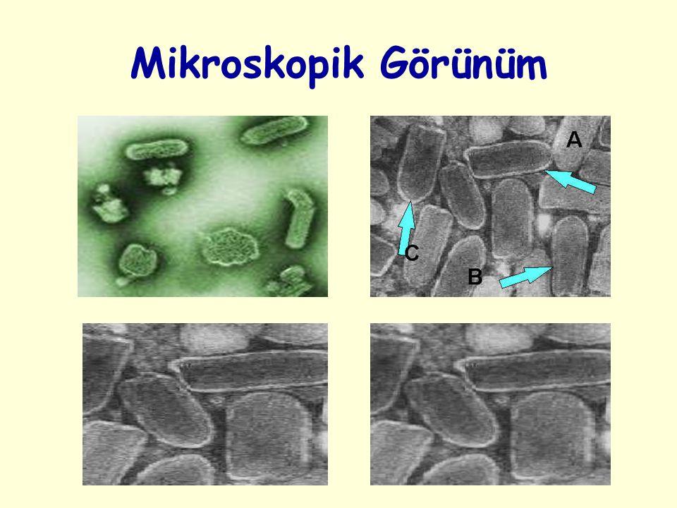 Laboratuvar Tanısı 1 – Mikroskopik İnceleme A – Işık Mikroskopu ile İnceleme B – Floresan Mikroskopu ile İnceleme 2 – Virüs İzolasyonu A – Deney Hayvanına Ekim B – Hücre Kültürüne Ekim 3 – Serolojik İnceleme