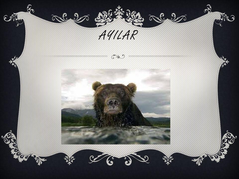 AYILAR
