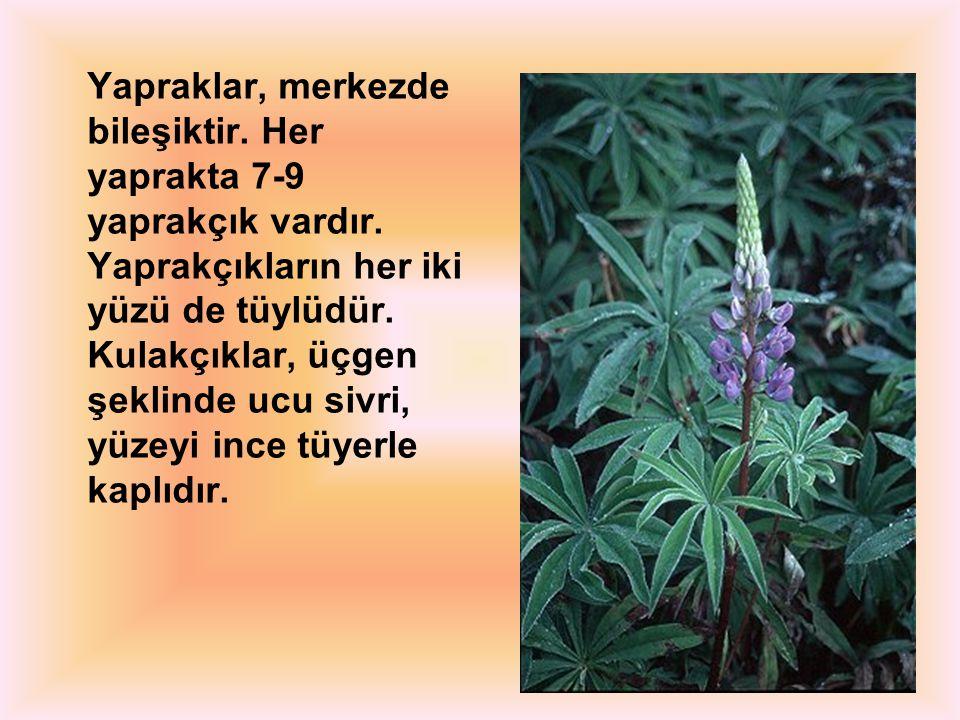 Yapraklar, merkezde bileşiktir. Her yaprakta 7-9 yaprakçık vardır. Yaprakçıkların her iki yüzü de tüylüdür. Kulakçıklar, üçgen şeklinde ucu sivri, yüz