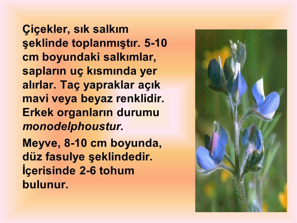 Çiçekler, sık salkım şeklinde toplanmıştır. 5-10 cm boyundaki salkımlar, sapların uç kısmında yer alırlar. Taç yapraklar açık mavi veya beyaz renklidi