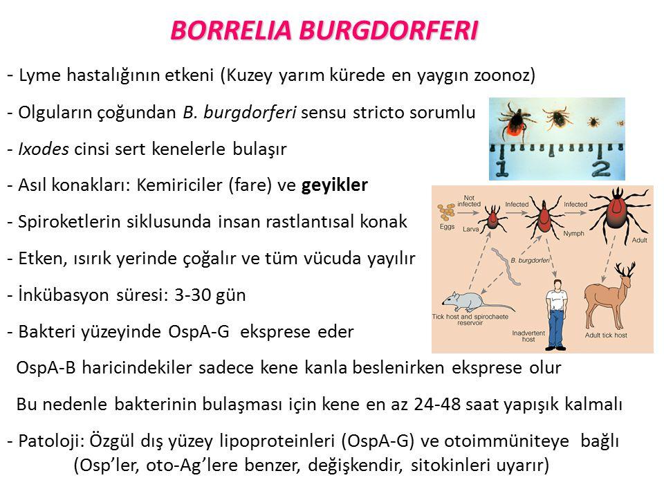 BORRELIA BURGDORFERI - Lyme hastalığının etkeni (Kuzey yarım kürede en yaygın zoonoz) - Olguların çoğundan B. burgdorferi sensu stricto sorumlu - Ixod