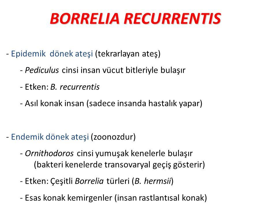 BORRELIA RECURRENTIS - Epidemik dönek ateşi (tekrarlayan ateş) - Pediculus cinsi insan vücut bitleriyle bulaşır - Etken: B. recurrentis - Asıl konak i