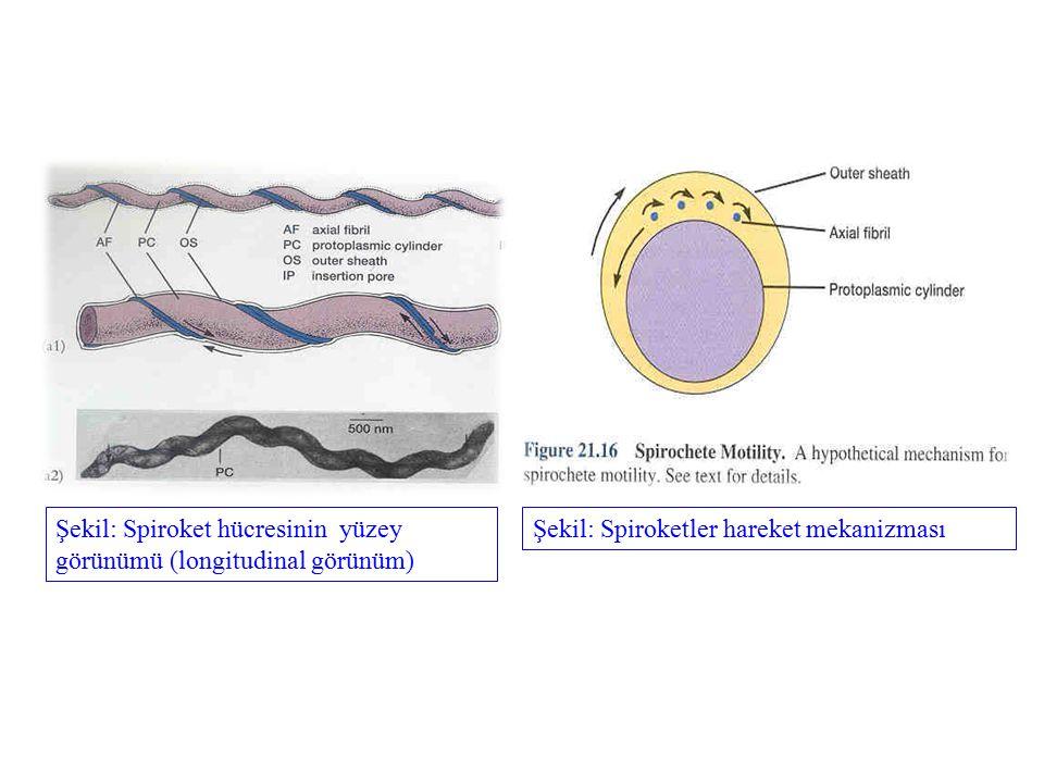 Şekil: Spiroket hücresinin yüzey görünümü (longitudinal görünüm) Şekil: Spiroketler hareket mekanizması