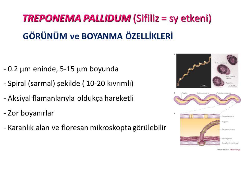 TREPONEMA PALLIDUM (Sifiliz = sy etkeni) GÖRÜNÜM ve BOYANMA ÖZELLİKLERİ - 0.2  m eninde, 5-15  m boyunda - Spiral (sarmal) şekilde ( 10-20 kıvrımlı)