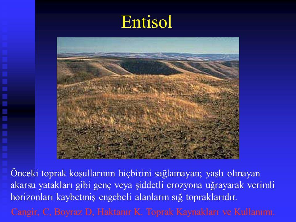 Entisol Önceki toprak koşullarının hiçbirini sağlamayan; yaşlı olmayan akarsu yatakları gibi genç veya şiddetli erozyona uğrayarak verimli horizonları