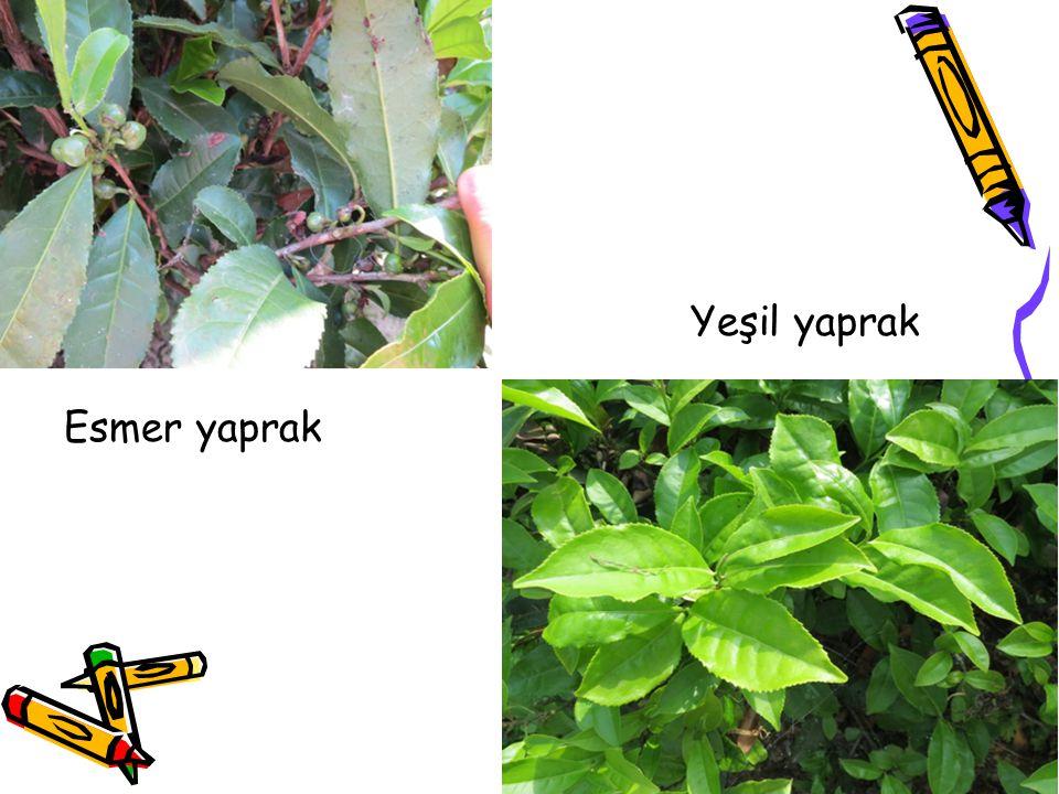 Yeşil yaprak Esmer yaprak