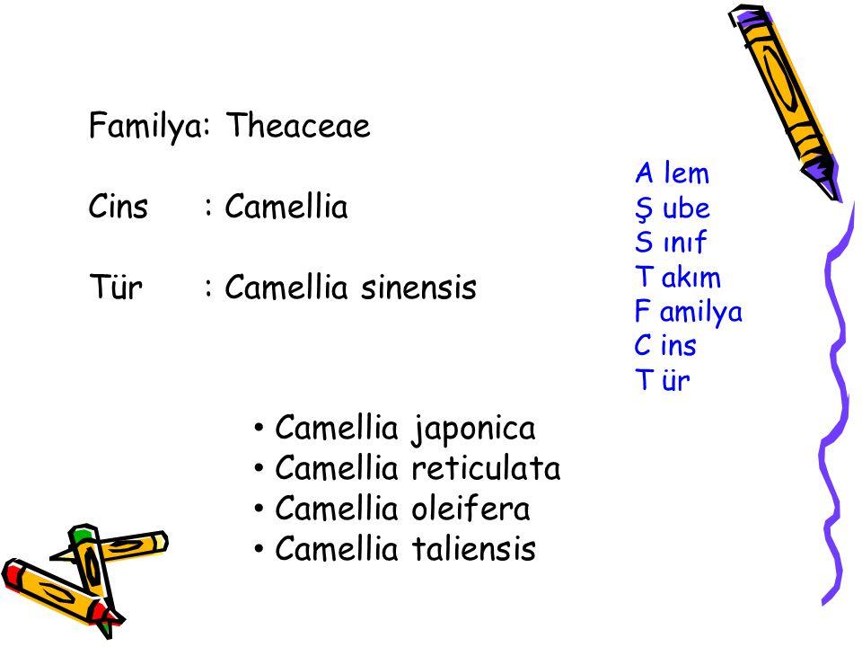 A lem Ş ube S ınıf T akım F amilya C ins T ür Familya: Theaceae Cins : Camellia Tür : Camellia sinensis Camellia japonica Camellia reticulata Camellia oleifera Camellia taliensis