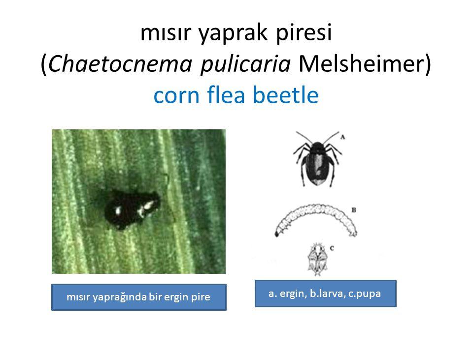 mısır yaprak piresi (Chaetocnema pulicaria Melsheimer) corn flea beetle a. ergin, b.larva, c.pupa mısır yaprağında bir ergin pire