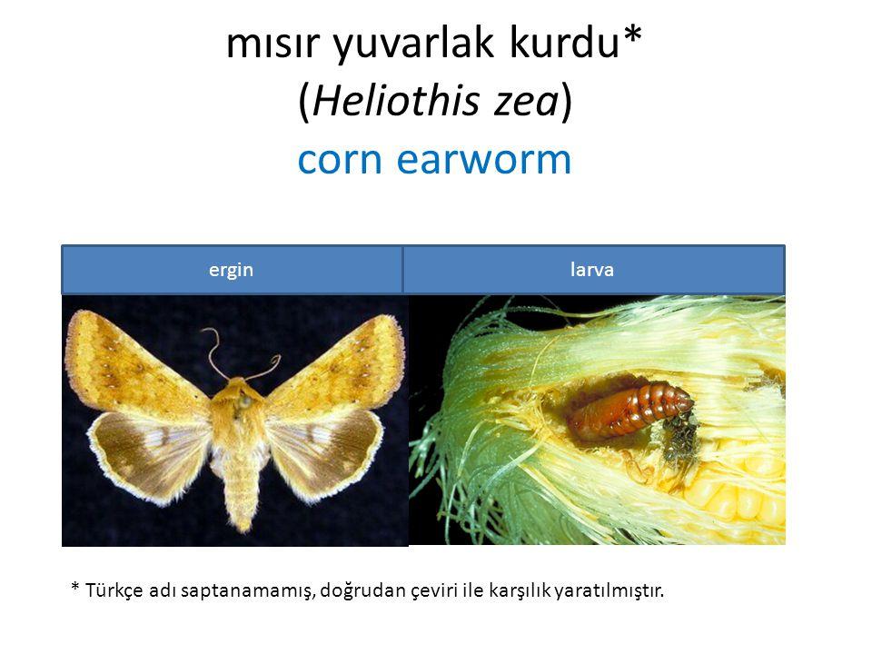 mısır yuvarlak kurdu* (Heliothis zea) corn earworm * Türkçe adı saptanamamış, doğrudan çeviri ile karşılık yaratılmıştır. erginlarva