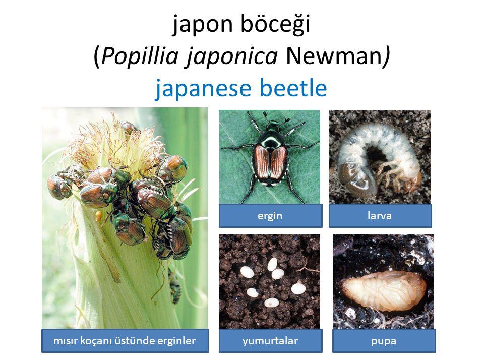 japon böceği (Popillia japonica Newman) japanese beetle larvaergin yumurtalarpupamısır koçanı üstünde erginler