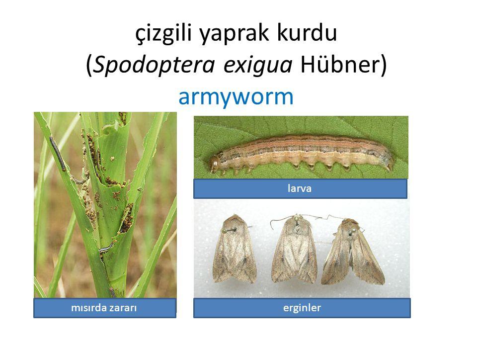 çizgili yaprak kurdu (Spodoptera exigua Hübner) armyworm mısırda zararıerginler larva