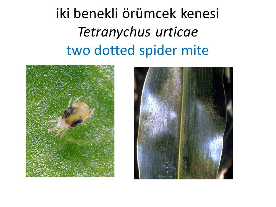 iki benekli örümcek kenesi Tetranychus urticae two dotted spider mite