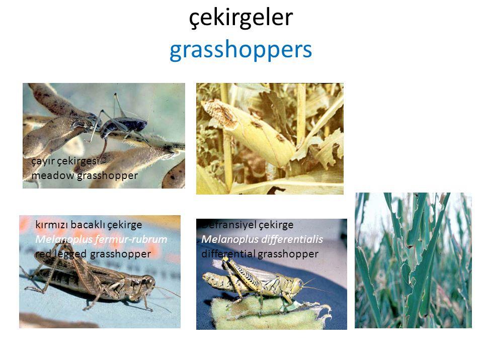 çekirgeler grasshoppers çayır çekirgesi meadow grasshopper kırmızı bacaklı çekirge Melanoplus fermur-rubrum red legged grasshopper Defransiyel çekirge