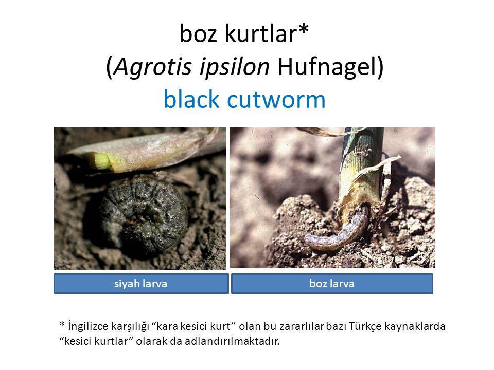 """boz kurtlar* (Agrotis ipsilon Hufnagel) black cutworm * İngilizce karşılığı """"kara kesici kurt"""" olan bu zararlılar bazı Türkçe kaynaklarda """"kesici kurt"""