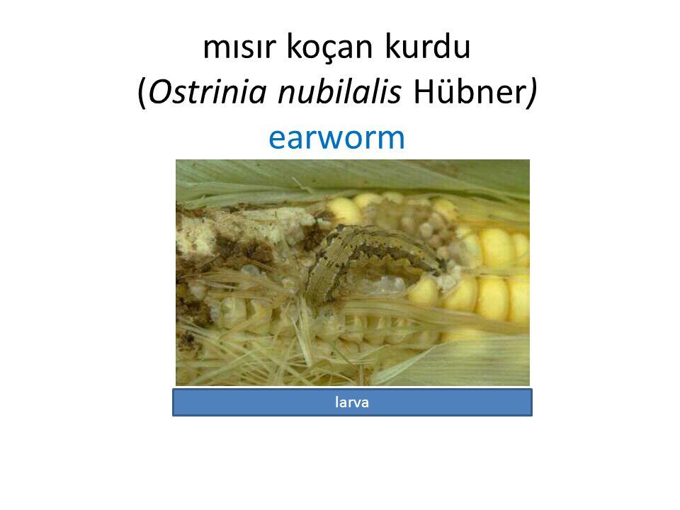 mısır koçan kurdu (Ostrinia nubilalis Hübner) earworm larva