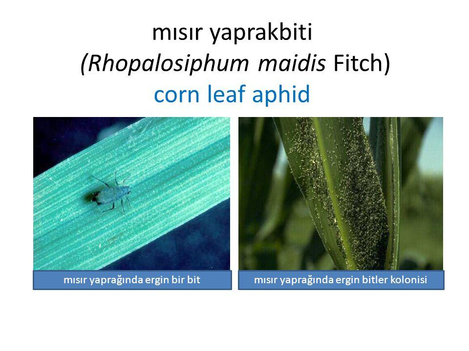 mısır yaprakbiti (Rhopalosiphum maidis Fitch) corn leaf aphid mısır yaprağında ergin bir bitmısır yaprağında ergin bitler kolonisi