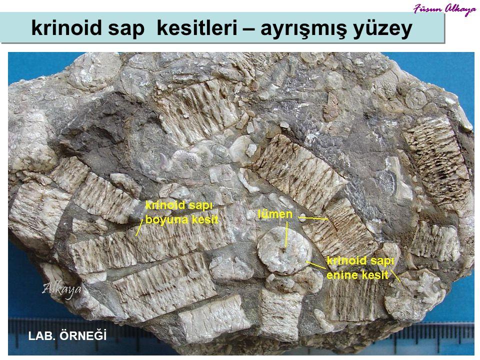 14 krinoid sap kesitleri – ayrışmış yüzey Füsun Alkaya LAB. ÖRNEĞİ