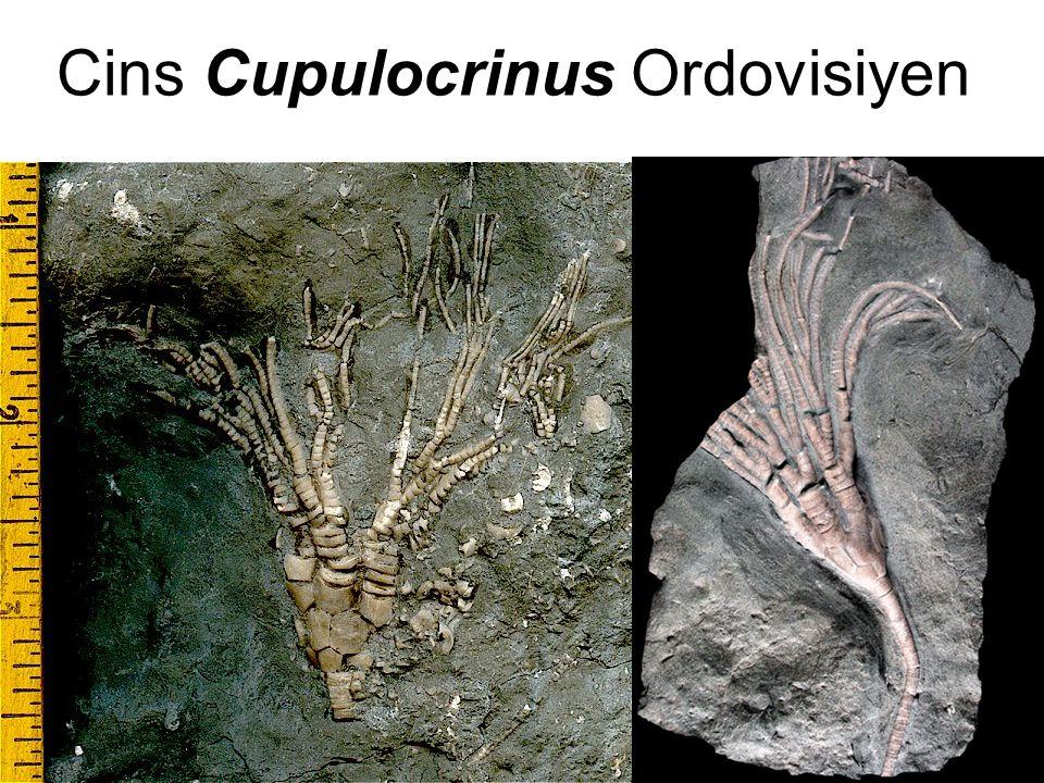 35 Cins Cupulocrinus Ordovisiyen