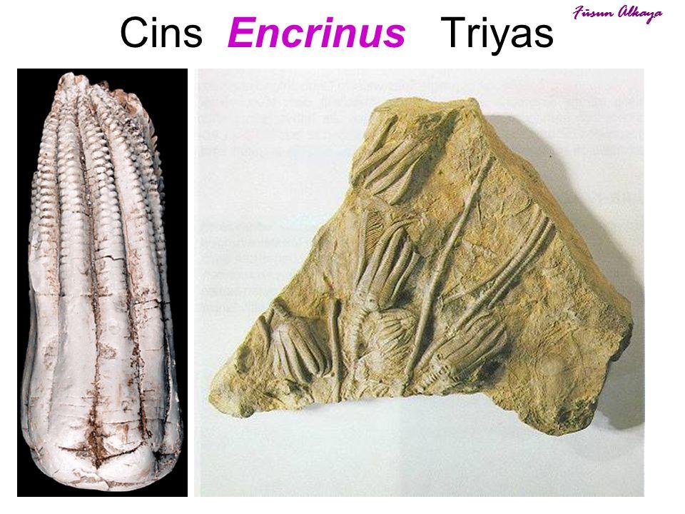 38 Cins Encrinus Triyas Füsun Alkaya