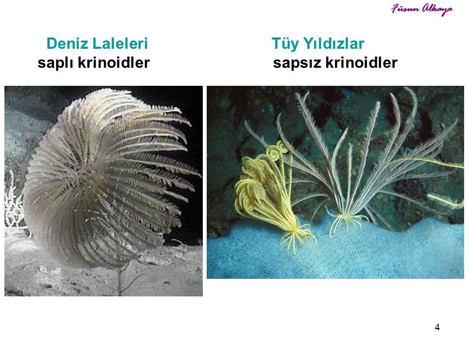 4 Deniz Laleleri Tüy Yıldızlar saplı krinoidler sapsız krinoidler Füsun Alkaya
