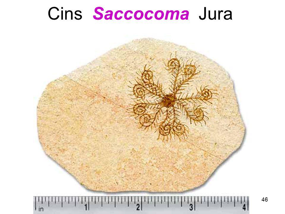 46 Cins Saccocoma Jura