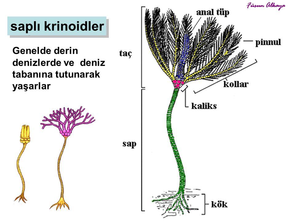 6 saplı krinoidler Genelde derin denizlerde ve deniz tabanına tutunarak yaşarlar Füsun Alkaya