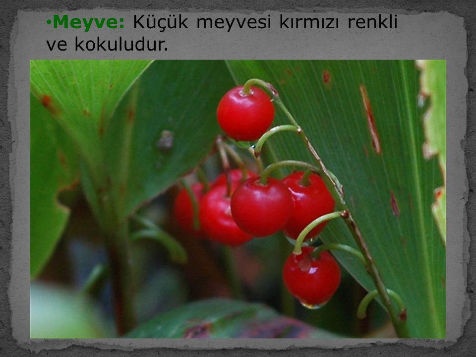 Meyve: Küçük meyvesi kırmızı renkli ve kokuludur.