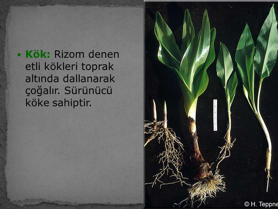 Kök: Rizom denen etli kökleri toprak altında dallanarak çoğalır. Sürünücü köke sahiptir.