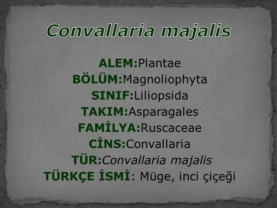 ALEM:Plantae BÖLÜM:Magnoliophyta SINIF:Liliopsida TAKIM:Asparagales FAMİLYA:Ruscaceae CİNS:Convallaria TÜR:Convallaria majalis TÜRKÇE İSMİ: Müge, inci çiçeği