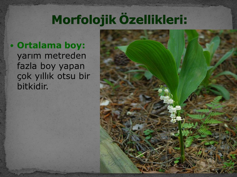 Ortalama boy: yarım metreden fazla boy yapan çok yıllık otsu bir bitkidir.