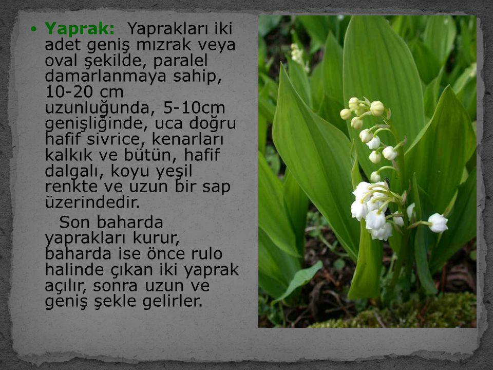 Yaprak: Yaprakları iki adet geniş mızrak veya oval şekilde, paralel damarlanmaya sahip, 10-20 cm uzunluğunda, 5-10cm genişliğinde, uca doğru hafif siv