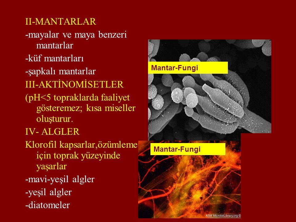 II-MANTARLAR -mayalar ve maya benzeri mantarlar -küf mantarları -şapkalı mantarlar III-AKTİNOMİSETLER (pH<5 topraklarda faaliyet gösteremez; kısa mise