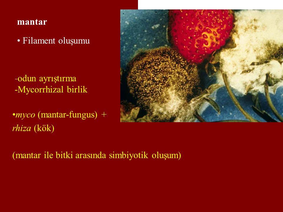 mantar Filament oluşumu -odun ayrıştırma -Mycorrhizal birlik myco (mantar-fungus) + rhiza (kök) (mantar ile bitki arasında simbiyotik oluşum)