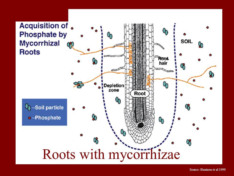 Source: Harrison et al 1999 Roots with mycorrhizae