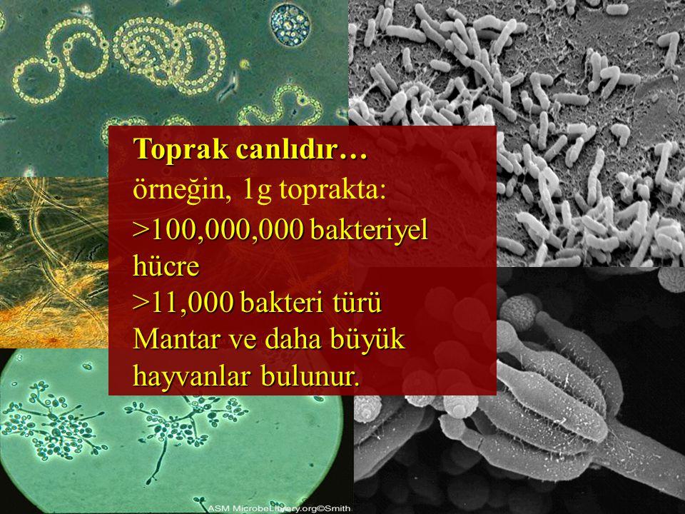 Toprak canlıdır… örneğin, 1g toprakta: >100,000,000 bakteriyel hücre >11,000 bakteri türü Mantar ve daha büyük hayvanlar bulunur.